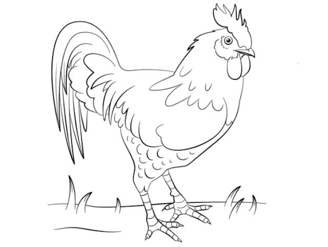 sketsa gambar ayam jantan