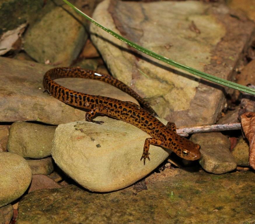 Ohio Birds and Biodiversity Longtailed Salamander