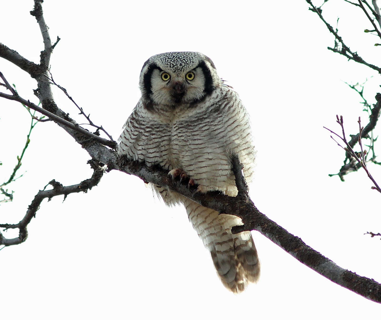 Owl Meaning Sighting