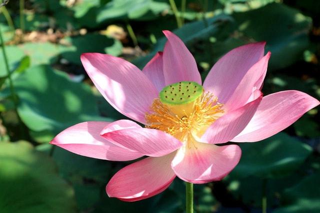 Xua tan cái nắng hè oi ả ở cánh đồng sen tuyệt đẹp của Quảng Nam