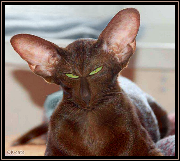 Photoshopped Cat picture • Funny Havana brown cat with giant ears and tiny mouth :)