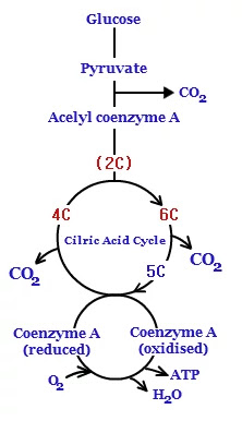 Steps involved in respiration