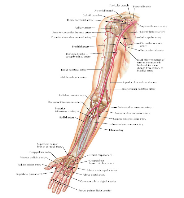 Arteries of Arm and Proximal Forearm Anatomy