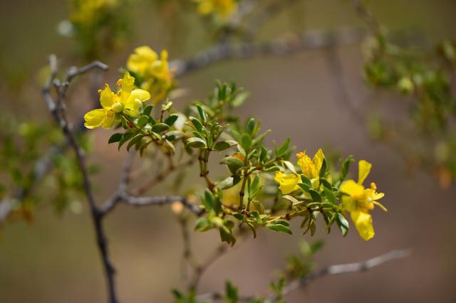 larrea tridentata, creosote, desert, sonoran, small sunny garden, amy myers