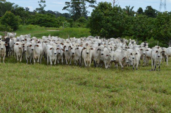 Ministério da Agricultura reconhece Rondônia como livre de Febre Aftosa sem vacinação