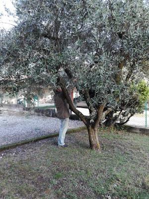 La raccolta delle olive nell'orto di Elle e Alli