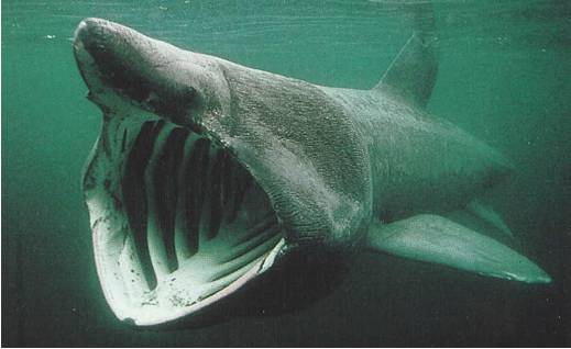 The habitat and unusual characteristics of the basking sharks
