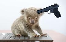 Koala sous pression