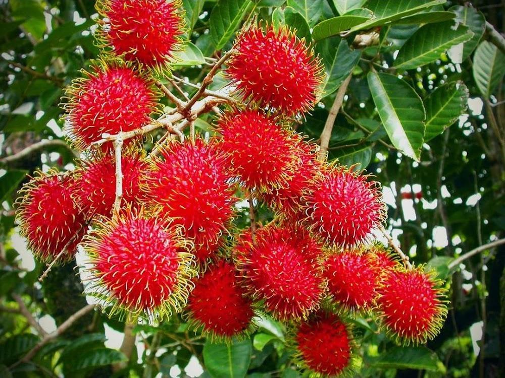 Bibit Rambutan Binjai Sumatra Utara