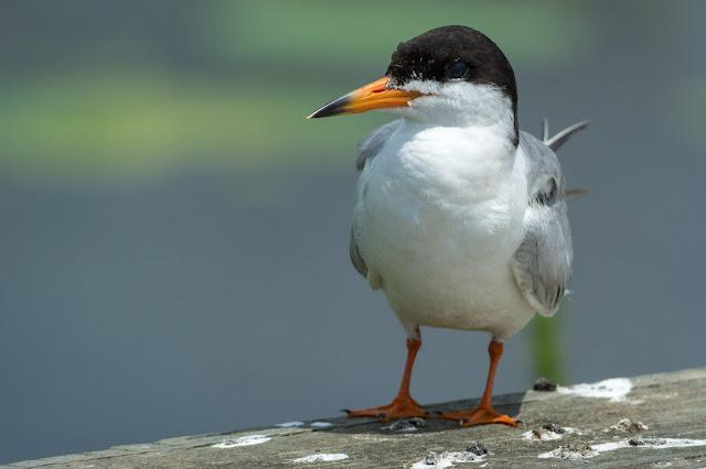 Common Tern, Anahuac National Wildlife Refuge