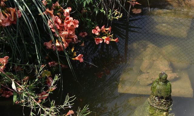 karppi, carp, pond, kukat, pinkki, lampi, mapello, italia, italy