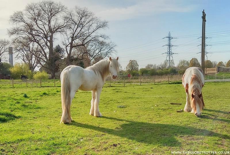 Horses grazing near River Lee
