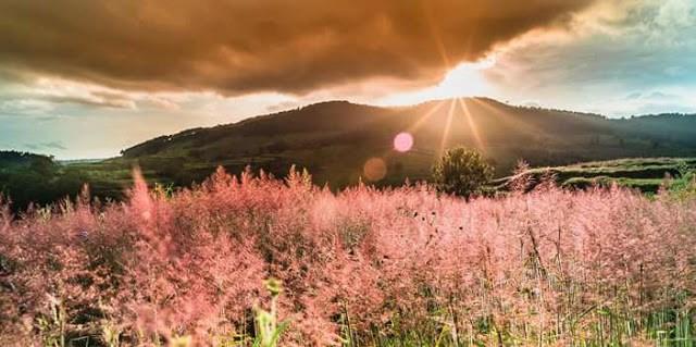 Đến với Đà Lạt hãy ngắm đồi cỏ hồng đuôi chồn đẹp tựa xứ Nhật Bản đẹp mê hồn