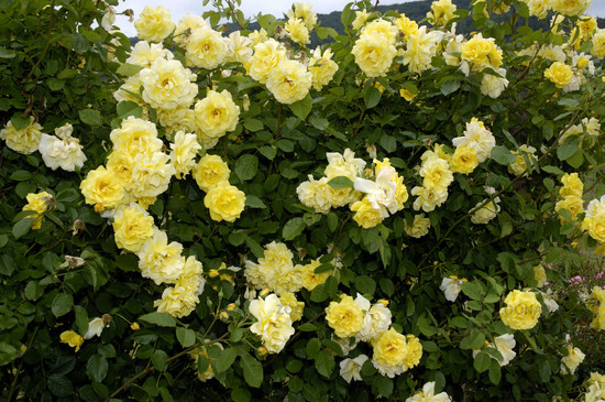 Golden Gate rose сорт розы фото