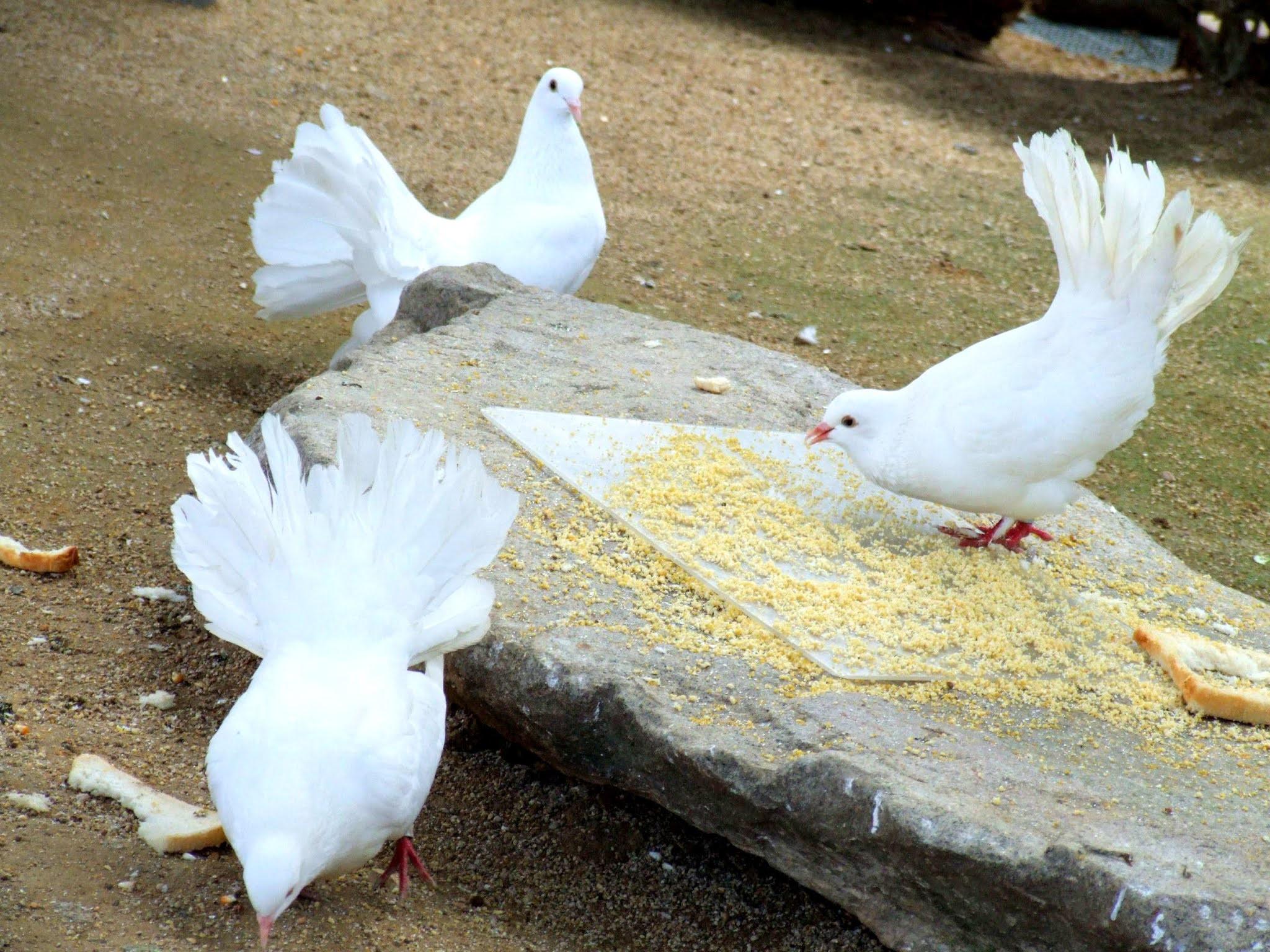真っ白でキレイなイエバトの鳩の写真素材です。トリさん可愛いですよね。鳥類大好きです。