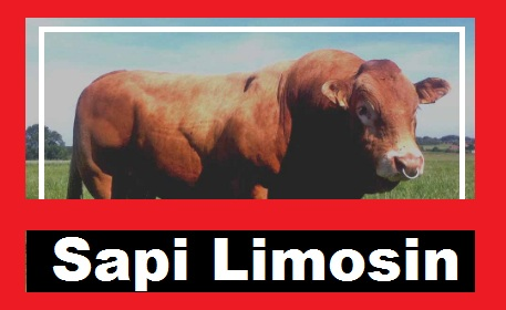 Limousin Cow Image