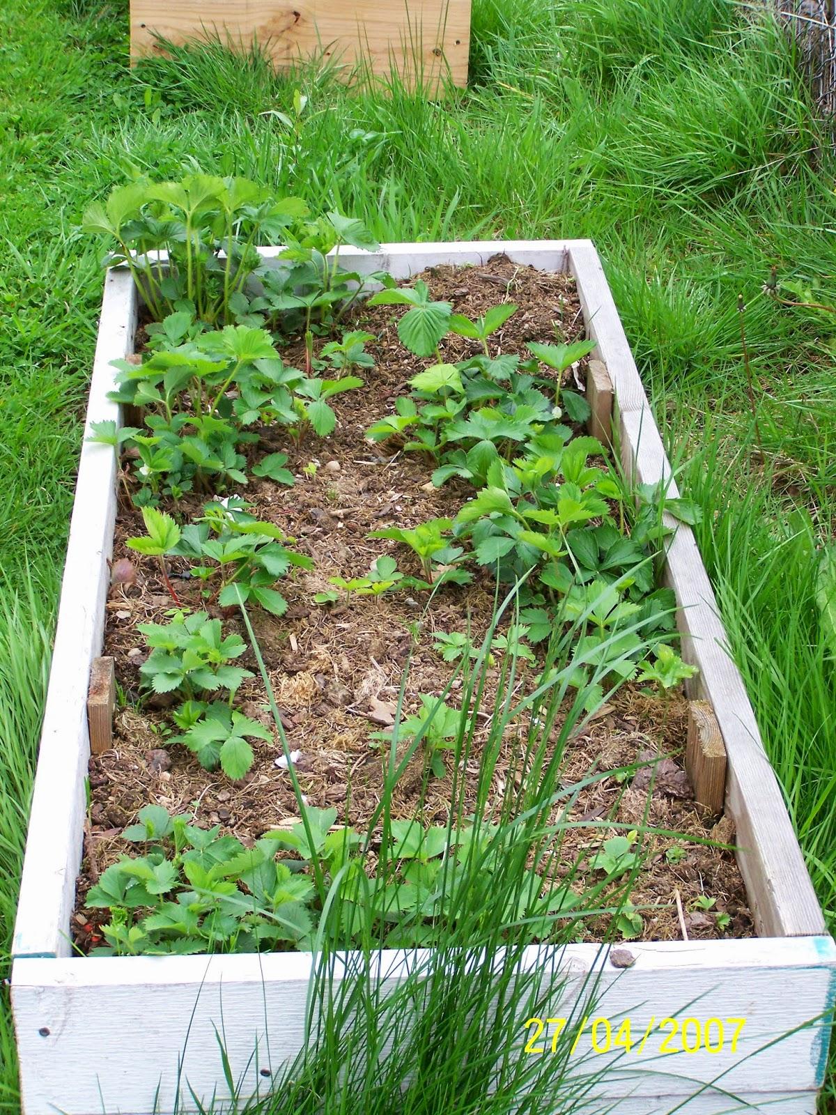 Square Foot Gardening Strawberry Box 1 Copyright Adrienne Z. Milligan