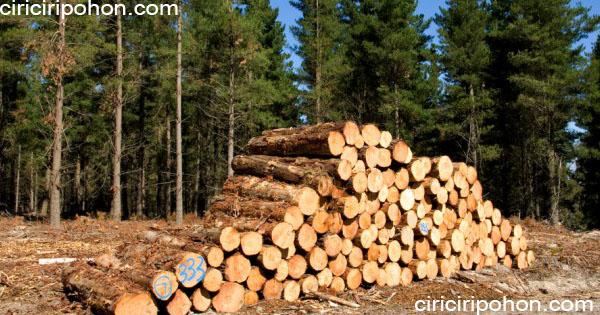 ciri ciri pohon kayu pinus