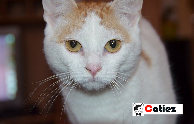 Turkish Van Cat - all you want to know about Turkish Van Cats
