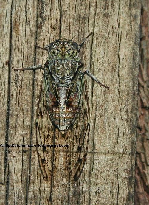 a cicada in Kefalonia