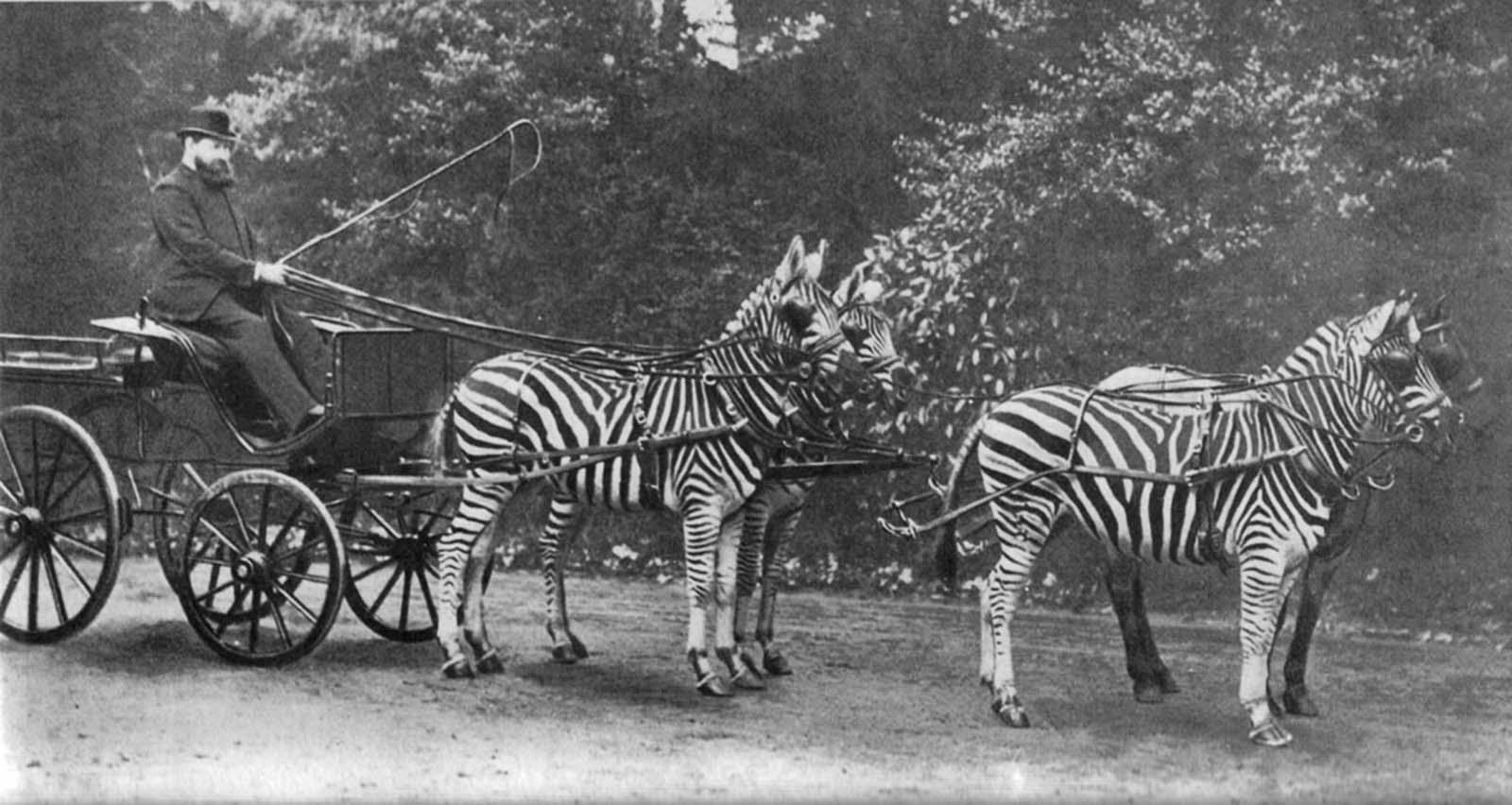 Лорд Уолтер Ротшильд со своей командой зебр, тянущих кареты. Ротшильд (1868-1937) из глобальной банковской семьи Ротшильдов владел собственным зоопарком.