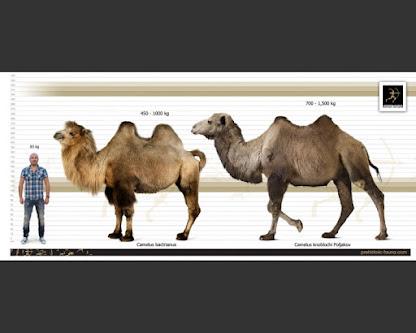Camelus knoblochi and Camelus ferus