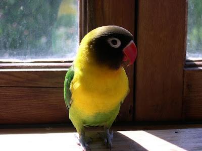 Cara Berternak Burung Lovebird Untuk Pemula