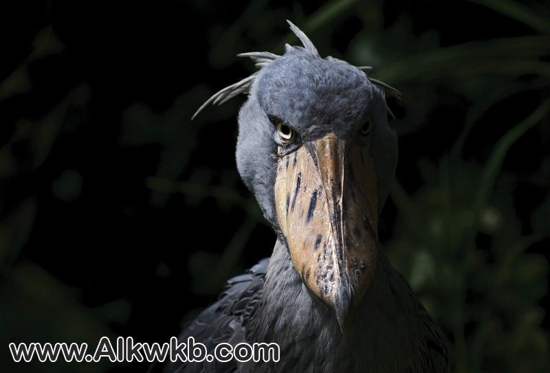 أبو مركوب طائر من عصر الديناصورات