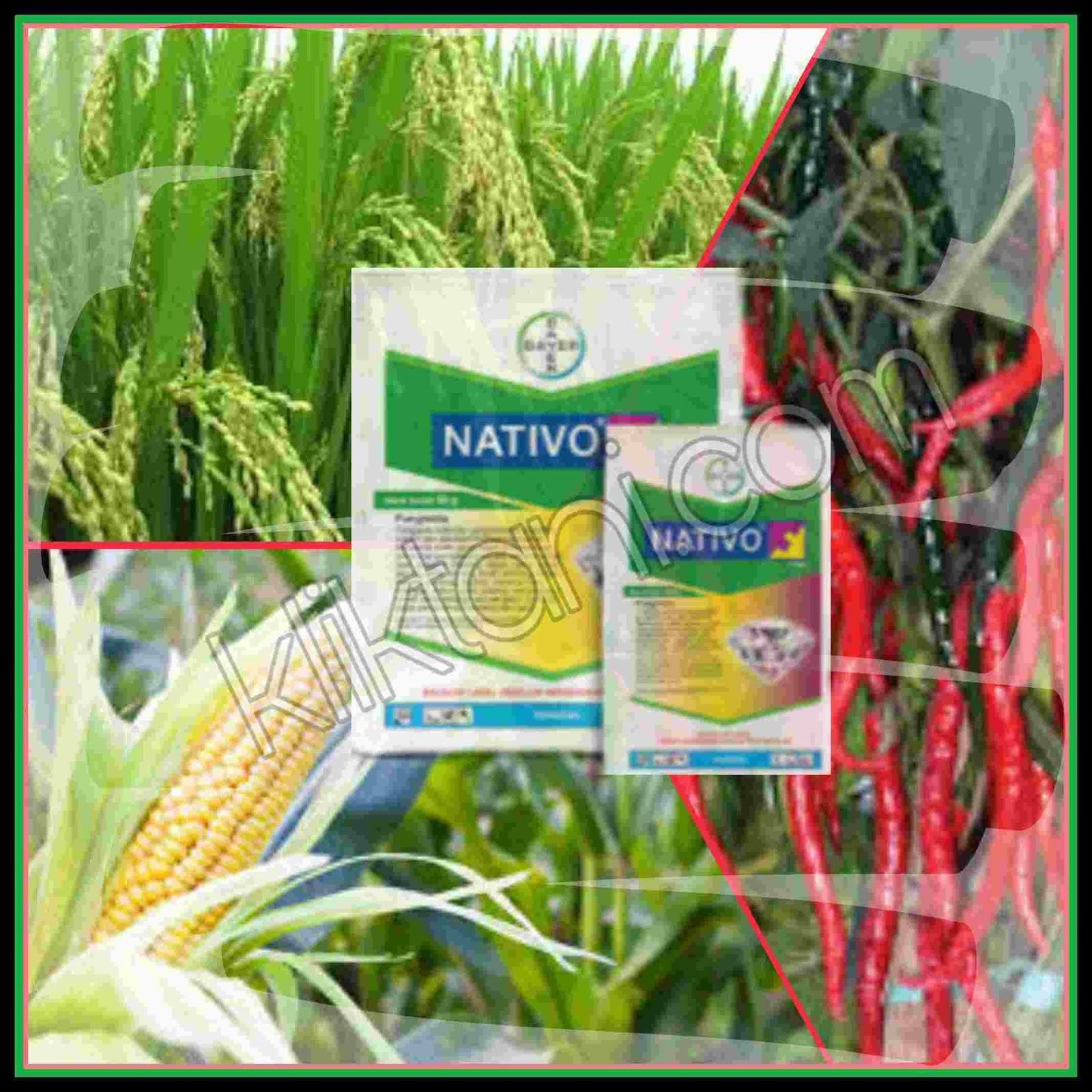 Fungisida Nativo untuk padi, cabe, bawang merah, jagung, dan