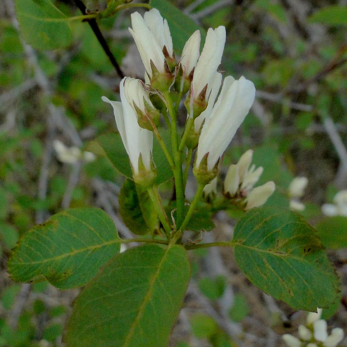 Shrub Identification Amelanchier Alnifolia