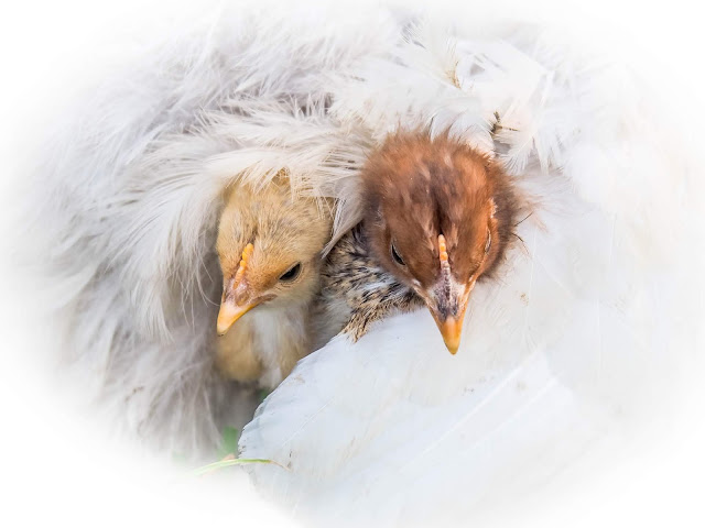 Kuikens onder moeders vleugels