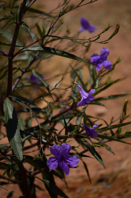 ruellia brittoniana, garden bloggers bloom day, small sunny garden, amy myers, photography, desert garden