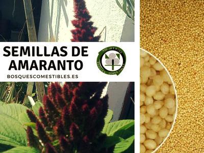 Las semillas de amaranto se limpia muy bien cuidando que no se mezclen los colores