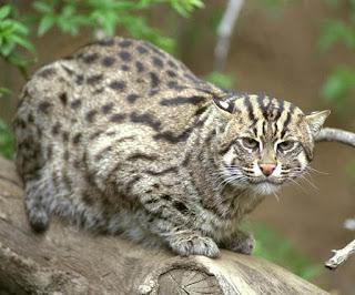 Mengenal Kucing Bakau, Si Kucing Penyelam yang Ahli