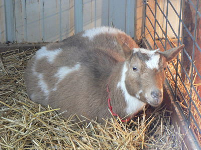 2aee96b70b59 Goats in winter - The Thrifty Homesteader