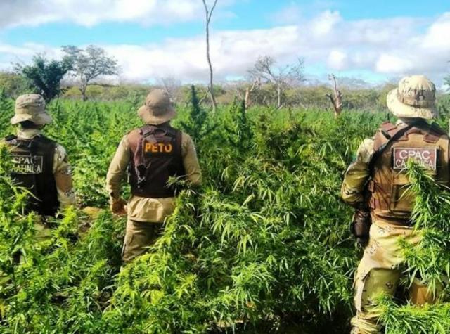 Polícia destrói 63 mil pés de maconha na zona rural de Campo Formoso