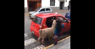 Un Lama in Taxi