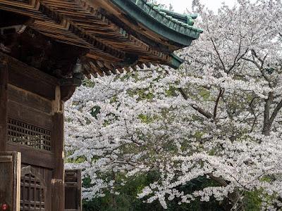 Someiyoshino-zakura (Prunus yedoensis) flowers: Kencho-ji
