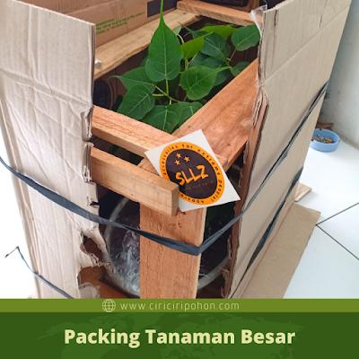 Packing Tanaman Besar