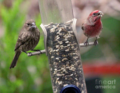 This is a screen shot of a photograph which has been rendered on to special art paper and I'm selling it via Fine Art America. It features a couple of House finches at a tube shaped bird feeder filled with seeds. The female (brownish) is on  the left side of the feeder while the male (red) is on the right of the tube. Info re this work of art is @ https://fineartamerica.com/featured/dinner-for-two-patricia-youngquist.html?product=art-print