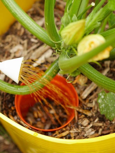 Como plantar abobrinha - Passo 5