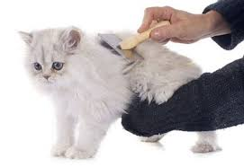 Cara Agar Bulu Kucing Tidak Rontok Dan Cara Mengatasinya