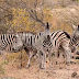 How many Zebras are in this picture?
