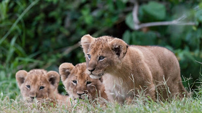 Lion Babies Widescreen HD Wallpaper