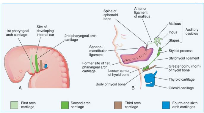 Details of the Pharyngeal Apparatus Mastering Embryology