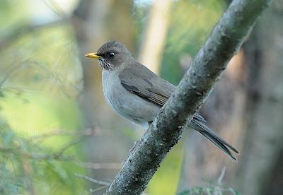 argentinian birds Slaty Thrush