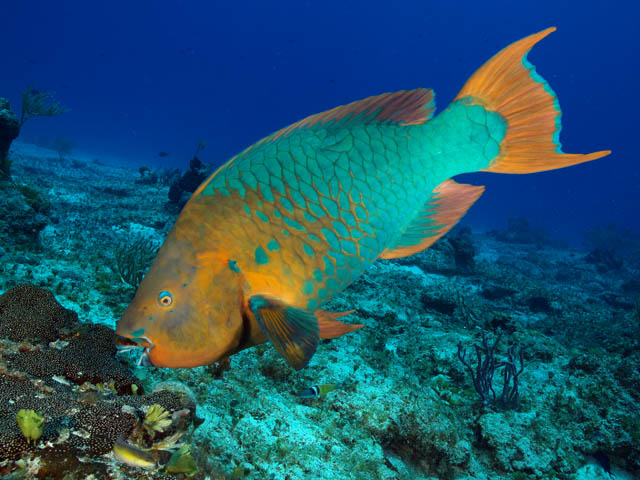 The nancy foster chronicles parrotfish coral reef for Caribbean reef fish