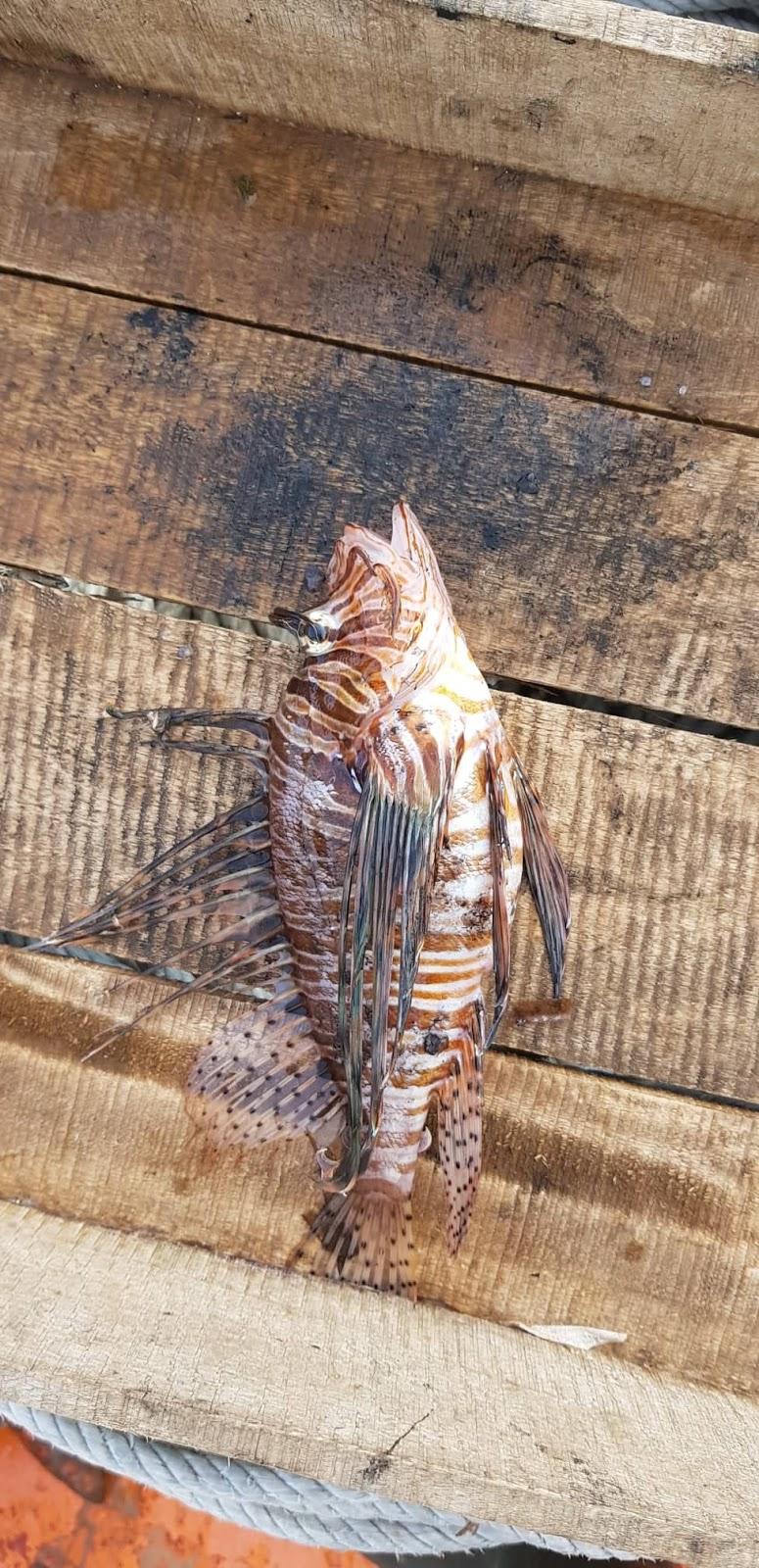 Ψαρεύτηκε λεοντόψαρο στον Καραβόμυλο.