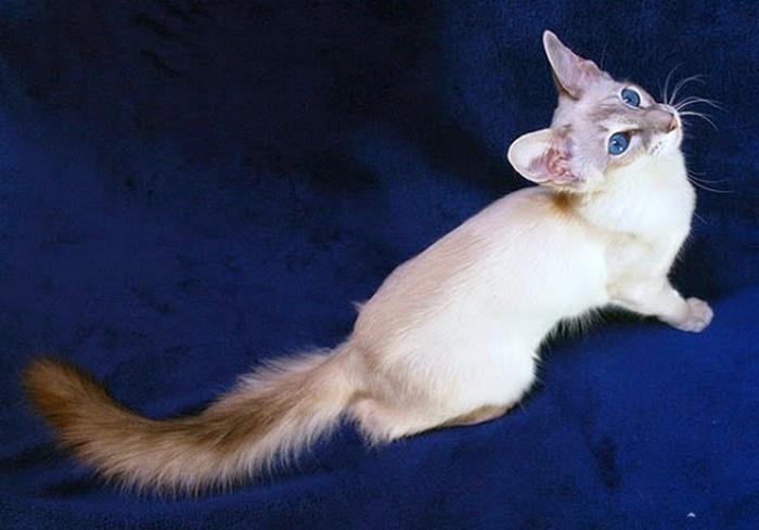cat, kucing, lucu, eksotis, Balinese, Penari Bali, , nama kucing betina islam, cara membasmi kutu kucing, kutu kucing, nama lucu kucing persia, nama anak kucing betina, nama lucu untuk kucing, kenapa kucing mengikuti kita, nama kucing abu abu, nama untuk kucing jantan, makanan bayi kucing, nama kucing lucu jantan