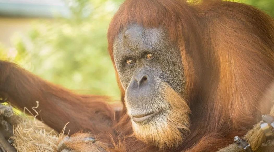 Inji the oldest orang utan in the world